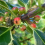 Holly Berries ripening (Ilex aquifolium (Holly))