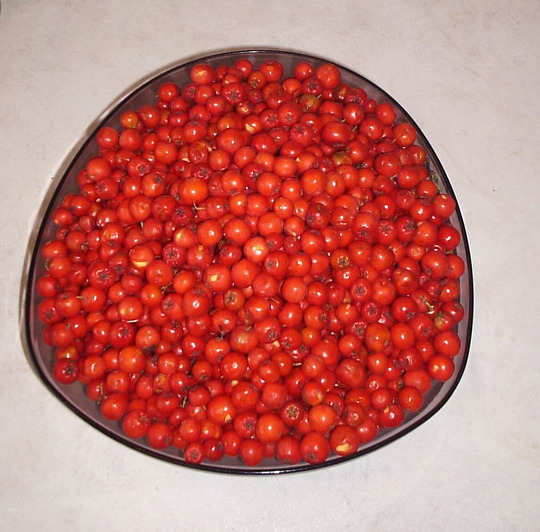 Rowan Berries (Sorbus aucuparia (Mountain ash))