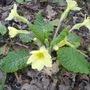 Wild Primroses, Cumbria