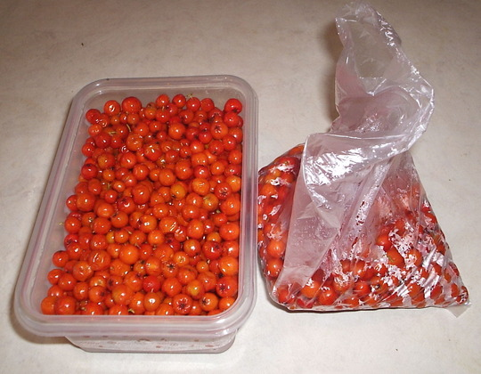 Packing Rowan berries for freezing. (Sorbus aucuparia (Mountain ash))