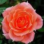 Rose Flower Power for Cristina