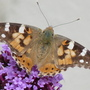 Painted Lady and Verbena (Verbena bonariensis (Verbena))