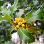 Yellow Holly Berries
