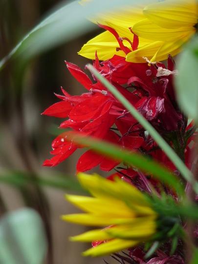 Lobelia - Queen Victoria and Helianthus (Helianthus tuberosus (Aguaturma))