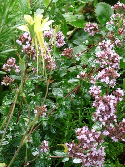 Origanum with the last Aquilegia flower - Dragonfly (Origanum majorana (Marjoram))