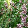 Origanum with the last Aquilegia flower - Dragonfly (Origanum majorana (Marjoram))