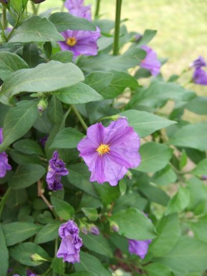 Solanum rantonnetii 'Royal Robe' (Solanum rantonnetii (Royal Robe))
