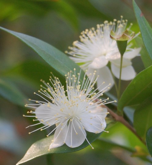 Myrtus communis (Myrtus communis (Common myrtle))