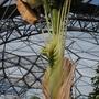 Strelitzia Nicolai (Strelitzia nicolai (Giant Bird of Paradise))