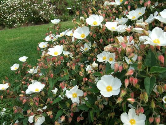 White Cistus full out. (Cistus x corbariensis)