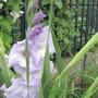 Gladioli Laguna (gladiolus)