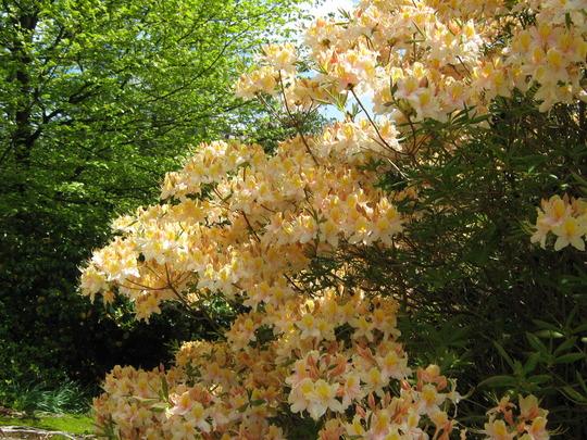 Leonardslee Gardens30