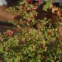 Fuschia Thymifolia (bush view) (Fuschia)