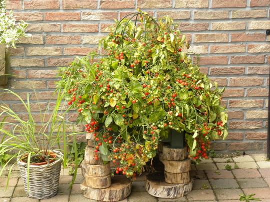 tomato plant 100's and 1000's  090910
