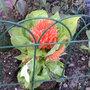 Orange Celsosia