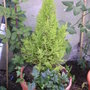 Yellow / green Miniature Conifer