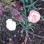 Patio Carnation