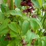 Leycesteria formosa (False Nutmeg)