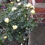 Rose_bush_1