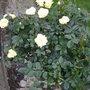 Rose_bush_2
