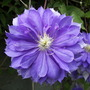 Clematis_Countess_of_Lovelace.jpg (Clematis Countess of Lovelace)