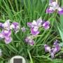 Sibirica_Sparkling_Rose.jpg (Iris sibirica (Siberian iris))