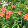 Day lily Neryon Rose