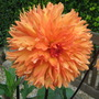 Dahlia...cant remember!