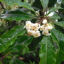Pittosporum flowers for Sixpence (Pittosporum)