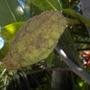 Artocarpus heterophyllus - Jackfruit  (Artocarpus heterophyllus - Jackfruit)