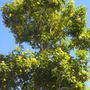 Tecoma stans -  Yellow Elder Tree (Tecoma stans -  Yellow Elder Tree)