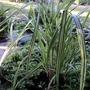 Grass (Miscanthus sinensis 'Variagatus') (Miscanthus sinensis (Miscanthus))