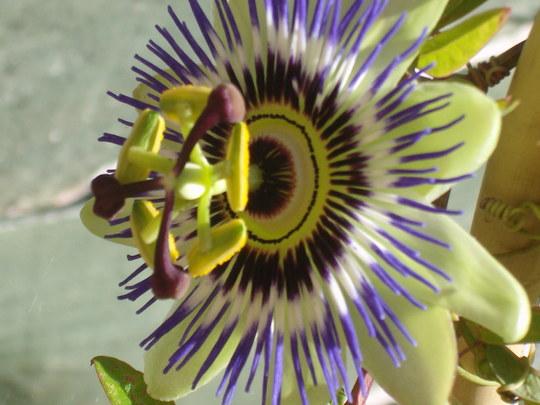 Passion flower.........