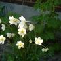 White anemonies