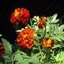 Marigold (Marigold)
