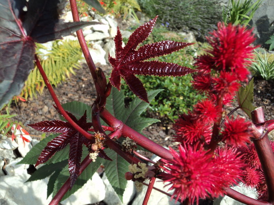 Crimson.. Scarlet.. Flamboyant colours.. (Ricinus communis (Castor oil plant))