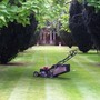 Striping Lawns  With A Roller Lawn-Mower (Catalpa bignonioides - Aurea, Indian Bean Tree)