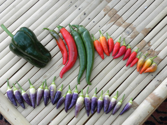 chillis (from left to right: Poblana, long hot ones alas with no name, Numex Twilight and Fiesta)  130910
