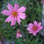 Coreopsis_pink_lady_