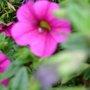 WHEELBARROW PLANTS VERBENA PETUNAS