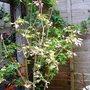 variegated  maple .
