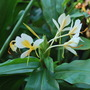 Ginger Lily. Gold Spot. (Hedychium densiflorum (Ginger Lily) Gold Spot)