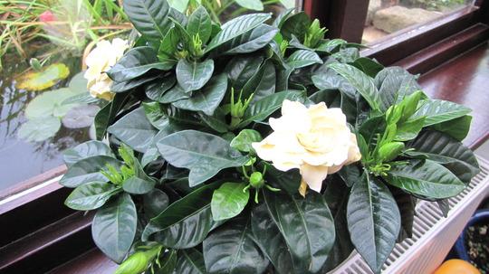 Gardenia (Gardenia jasminoides (Cape jasmine))