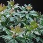 Little Heath (Pieris japonica (Lily of the valley bush))