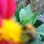 BUSY BEE ON DAHLIA