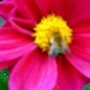 BETTER DAHLIA FOR THE BEE