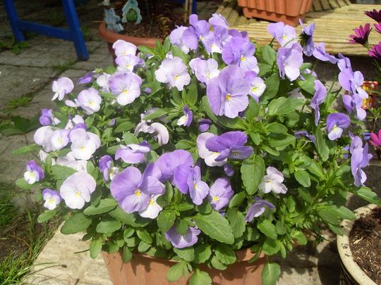 another full flowering pot