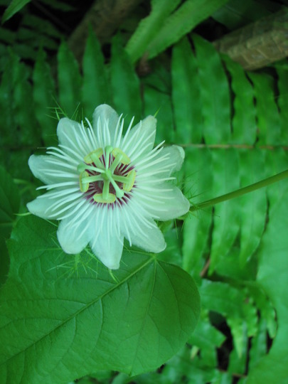 Early Spring in north-east Downunder: Passiflora foetida (Stinking Passionfruit) (Passiflora foetida)