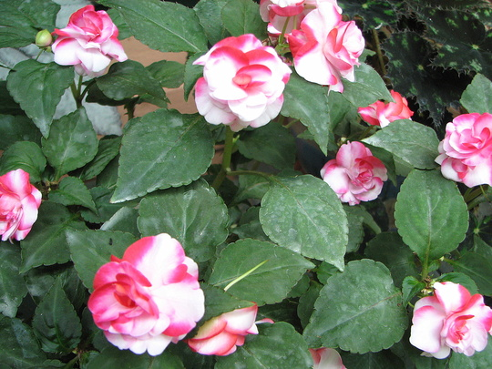 Early Spring in north-east Downunder: variegated double Impatiens walleriana (Impatiens walleriana (Busy Lizzie))