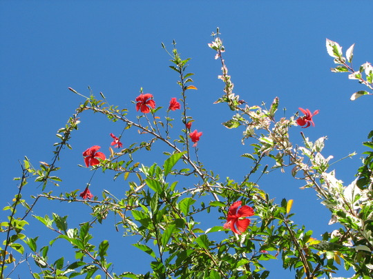 Early Spring in north-east Downunder: Hibiscus rosa-sinensis 'Snowflake' flowers against the blue sky (Hibiscus rosa-sinensis variegata 'Snowflake' or 'Snowqueen')